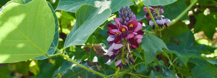 kudzu pflanze tee kaufen wurzel nebenwirkungen